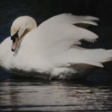 white swan weddings uk