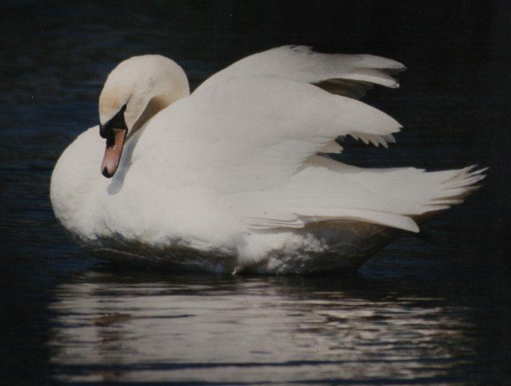 White Swan Weddings (UK)